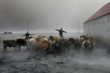 Farmers team up to rescue cattle from exposure to the toxic volcanic ash at a farm in Nupur, Iceland. ( AP Photo/Brynjar Gauti )